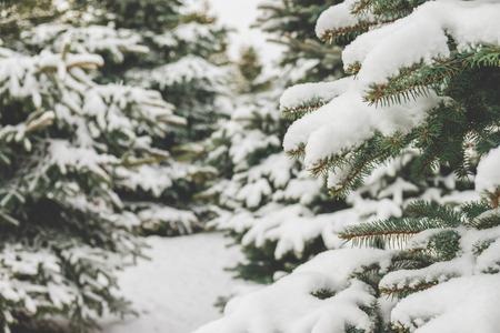 Photo pour Fir branches covered with snow - image libre de droit