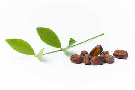 Photo for Jojoba (Simmondsia chinensis) leaves and seeds isolated on withe beckground - Royalty Free Image