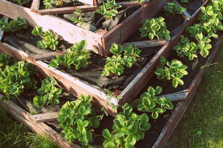 Foto de Strawberries in raised garden bed. Pyramid raised garden . - Imagen libre de derechos