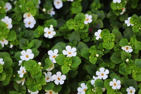 Foto de Bacopa monnieri, herb Bacopa is a medicinal herb used in Ayurveda, also known as Brahmi, a herbal memory - Imagen libre de derechos