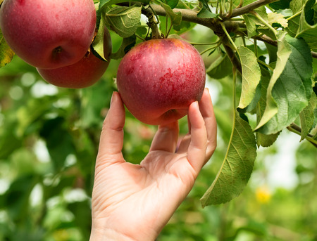 Foto per Woman hand picking a red ripe apple - Immagine Royalty Free