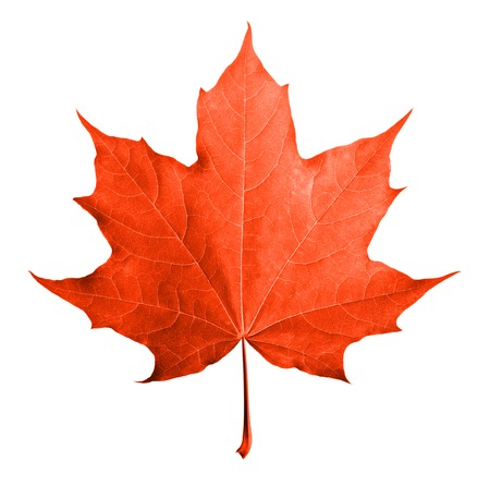 Photo pour Red maple leaf isolated white background. - image libre de droit
