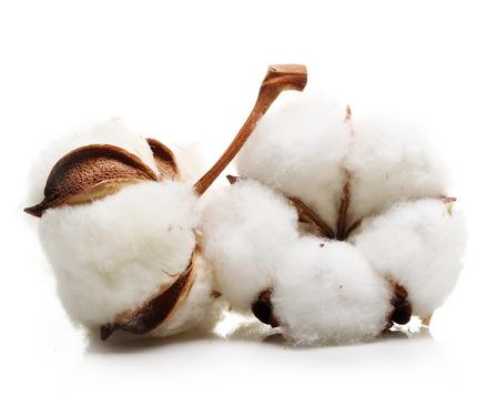 Foto de Cotton plant flower isolated on white background - Imagen libre de derechos