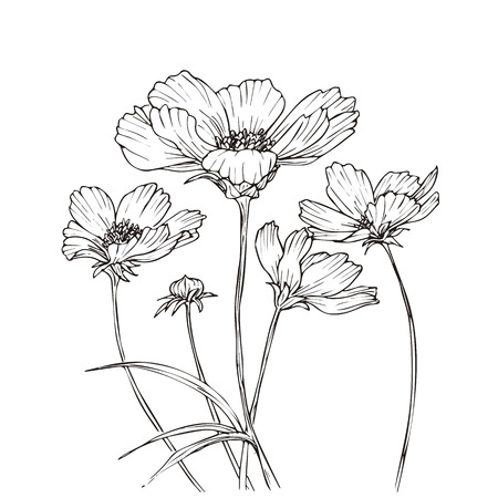 Illustration pour Hand drawn vector with cosmos flowers. Floral natural design. Graphic, sketch drawing. - image libre de droit