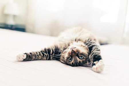 Photo pour Grey cat lying on bed and stretching - image libre de droit
