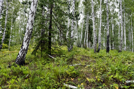 Photo for mixed pine and birch forest in summer - Royalty Free Image
