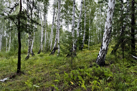 Photo for mixed pine and birch forest in summer in dry weather - Royalty Free Image