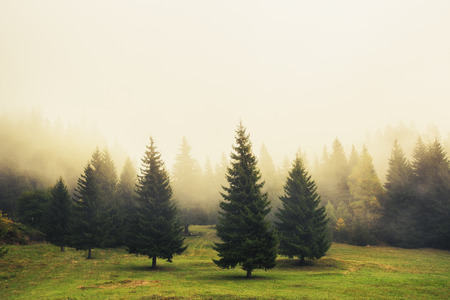 Photo for Beautiful green pine trees, foggy morning - Royalty Free Image