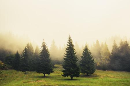 Foto de Beautiful green pine trees, foggy morning - Imagen libre de derechos