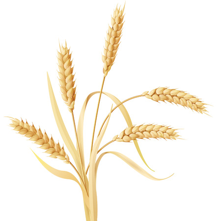 Illustration for Wheat ears tuft isolated on white. - Royalty Free Image
