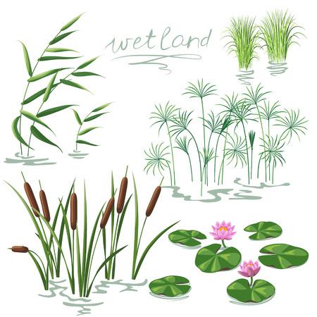 Ilustración de Set of wetland plants. Simplified image of  reed, water lily, cane and carex. - Imagen libre de derechos