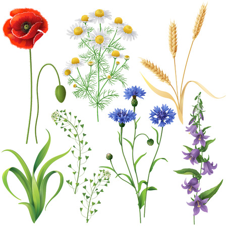 Illustration pour Wildflowers set. Poppy, cornflowers, chamomile, bluebell, blindweed,  wheat ears and  grass  isolated on white. - image libre de droit