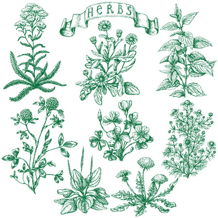 Illustration pour The set of medicinal plants. Hand drawn sketch of clover, yarrow, stinging nettle, ribwort, oxalis, calendula, chamomile, dandelion and banner with inscription -  herbs. - image libre de droit