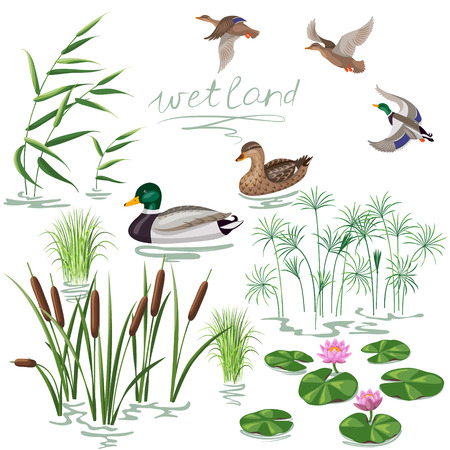 Ilustración de Set of wetland plants and birds. Simplified image of  reed, water lily, cane and carex.  Flying and floating wild ducks isolated on white. - Imagen libre de derechos