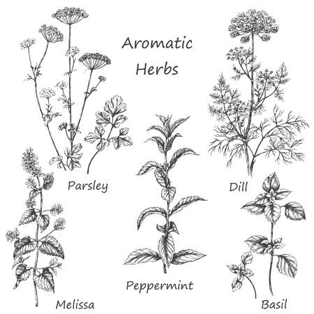 Ilustración de Hand drawn floral elements. Aromatic herbs set. Sketch of medicinal fragrant plants and spices.  Monochrome  image of dill, mint, parsley,  basil, melissa, peppermint. - Imagen libre de derechos