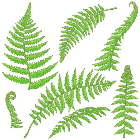 Ilustración de Hand drawn branches and leaves of tropical plants. Green fern fronds isolated on white. Vector sketch. - Imagen libre de derechos
