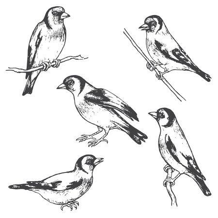 Ilustración de Hand drawn goldfinches isolated on white. Monochrome set of forest birds.Vector sketch of songbirds sitting on branches. - Imagen libre de derechos