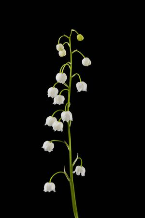 Photo pour Flowers of lilies of the valley isolated on a black background. - image libre de droit