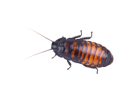 Foto de Madagascar hissing Cockroach isolated on white background. - Imagen libre de derechos