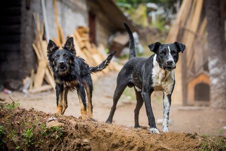 Foto de Two angry guard dogs staring at the camera - Imagen libre de derechos