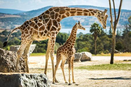 Photo pour Giraffe family on a walk in the desert - image libre de droit