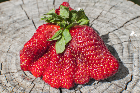 Photo pour A big red strawberry with strange shape on old stump surface closeup in sunny day - image libre de droit