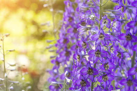 Photo pour blossoming delphinium in the field, in summer in warm weather in the wind - image libre de droit