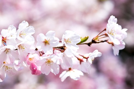 Photo for Full blossoming Yoshino cherry blossom - Royalty Free Image