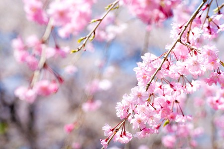 Photo for Pink drooping cherry blossoms called Yae-beni-shidare bloom - Royalty Free Image