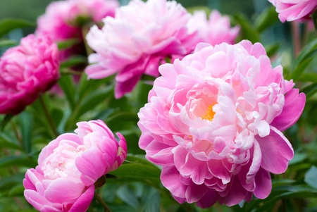 Foto de Close up of pink peony flower - Imagen libre de derechos