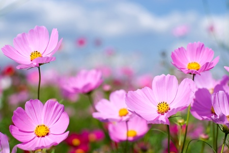 Photo for Pink cosmos field and sky - Royalty Free Image