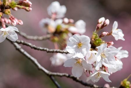 Full bloom flowers of the Yoshino cherry blossoms