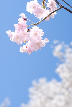Close up of weeping double cherry in the blue sky