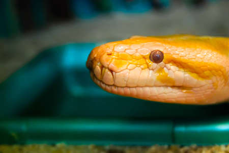 A head of yellow python in the terrarium