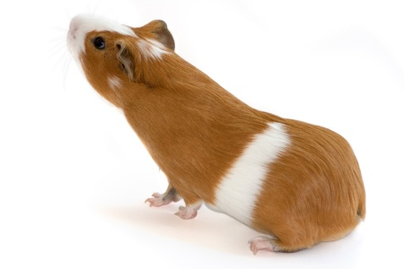 red guinea pig sniffing on white background