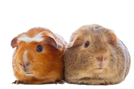 Two guinea pigs isolated on white
