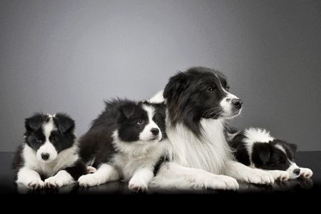 Studio shot of three cute Border Collie puppy with their mother lying on grey background.