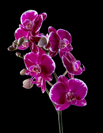 Colorful pink orchid o n bl mural