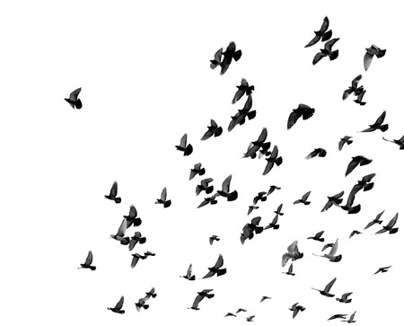 Photo pour Silhouettes of pigeons. Many birds flying in the sky. Motion blur - image libre de droit