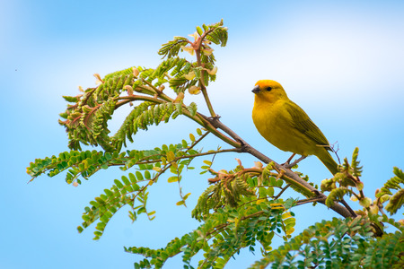Foto de Close up of wild canary passerine bird perched on tree in nature - Imagen libre de derechos