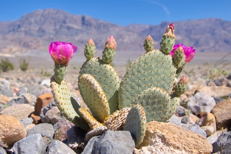 Photo pour Blooming Beavertail Cactus in Death Valley - image libre de droit