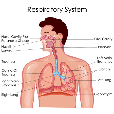 Illustration pour Medical Education Chart of Biology for Respiratory System Diagram. Vector illustration - image libre de droit