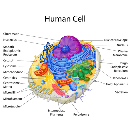 Photo pour Education Chart of Biology for Human Cell Diagram - image libre de droit