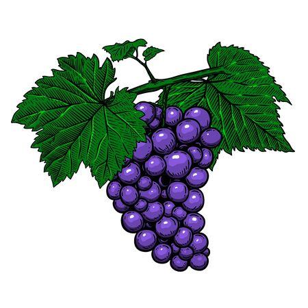 Illustration pour Grape branch on white background. - image libre de droit