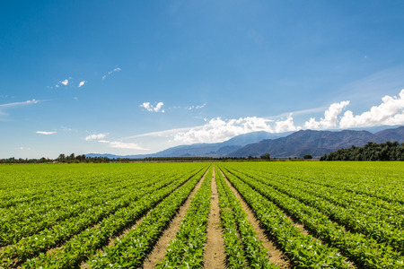 Photo for Fertile Agricultural Field of Organic Crops in California - Royalty Free Image