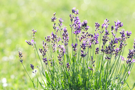 Photo pour Lavender blooming on the field - image libre de droit