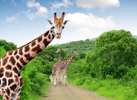 Foto de Giraffes in Kruger park South Africa  - Imagen libre de derechos