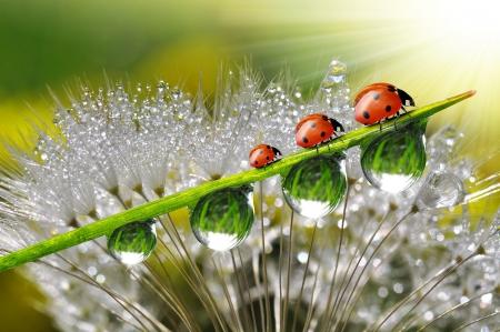 Foto de dew with ladybugs - Imagen libre de derechos