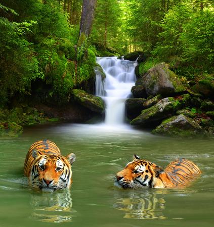 Foto de Siberian Tigers in water - Imagen libre de derechos