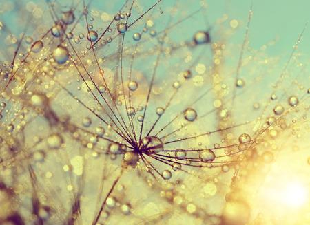 Foto de Dewy dandelion flower at sunset close up - Imagen libre de derechos